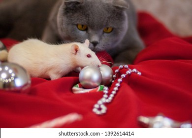 hunting concept cat and mouse gray cat white rat. white mouse animals close up cute funny fur mammal focused prey fear