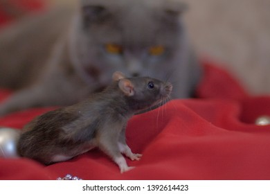hunting concept cat and mouse gray cat gray rat gray mouse