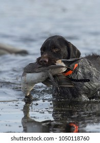 A Hunting do with a Pintail Duck in North Dakota