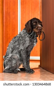 the hunting dog asks for a walk, with a leash in his teeth, near the door