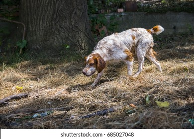Hunting dog Brittany Spaniel in hunting, on the track of something. beautiful dog.