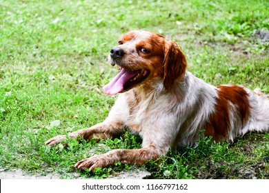 Hunting dog Brittany Spaniel  outdoor in  a summer garden