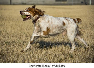 Hunting dog Brittany Spaniel  Running With Tennis Ball