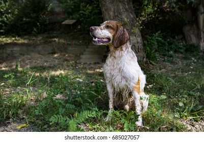 Hunting dog Brittany Spaniel wet by swimming in the river, sitting in the grass and posing for the camera