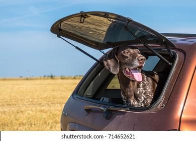 hunting dog in car