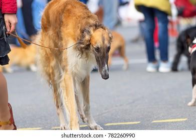 Hunting dog close-up