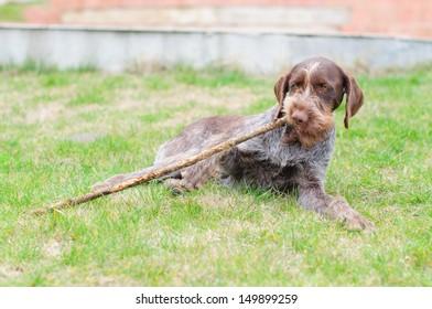 Hunting Dog drathaar
