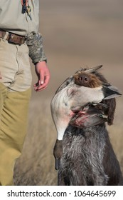 A hunting dog with a duck