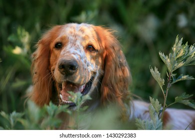 Hunting dog. English setter. Portrait of a hunting dog in nature among the grass