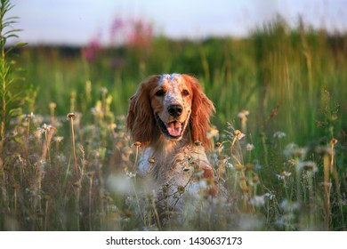 Hunting dog. English setter. Portrait of a hunting dog in nature among the green grass and wild flowers of daisies