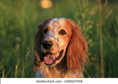 Hunting dog. English setter. Portrait of a hunting dog in nature among the green grass