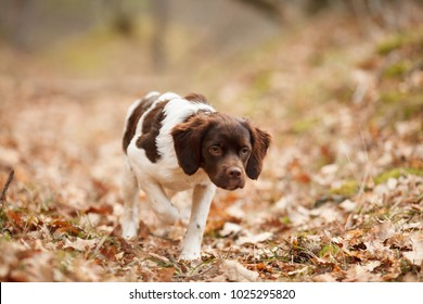 hunting dog epagneul breton on the hunt in a beautiful forest