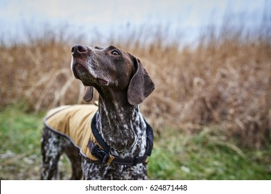 a hunting dog in a field