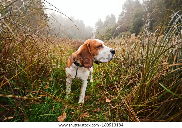 Hunting dog in the foggy morning in forest