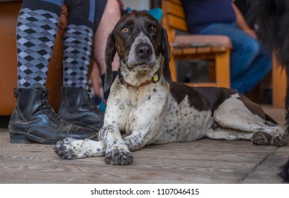 Hunting dog and his legs folded
