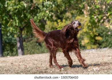 Hunting dog Irish setter running on the grass