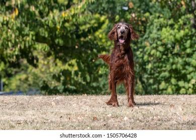 Hunting dog Irish setter running on the grass