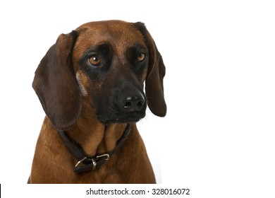Hunting dog isolated on white background