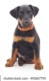 Hunting dog isolated on a white background.
