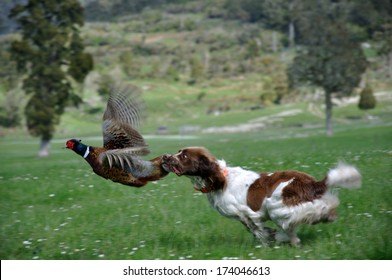 hunting dog latches on to male ring-necked pheasant, Phasianus colchinus. (The bird did escape without much injury)