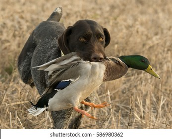 A hunting dog with a Mallard duck