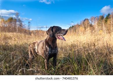 Hunting dog on autumn field