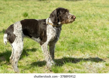 hunting dog on the nature of the spring