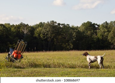 hunting dog on point, watching the skeet throwing machine