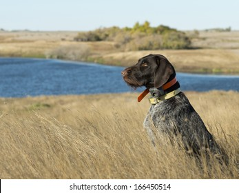 Hunting Dog on the Prairie