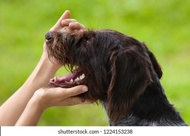 the hunting dog opens his mouth for inspection of teeth, closeup