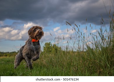 Hunting Dog pointing a pheasant