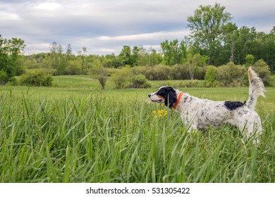 Hunting dog pointing a pheasant in cover.