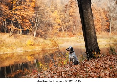 hunting dog in the pond hunts. Portrait of an English setter sitting in the autumn orange forest on the banks of the river