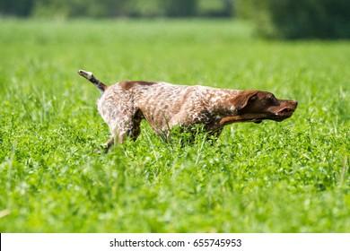 hunting dog racing with game Italian national championships