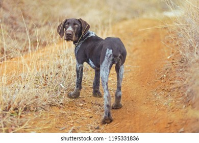 Hunting dog resting on the grass, German Hunting Watchdog