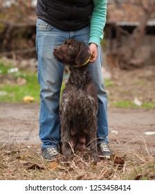Hunting dog resting on the grass, German Hunting Watchdog. Drachhaar.