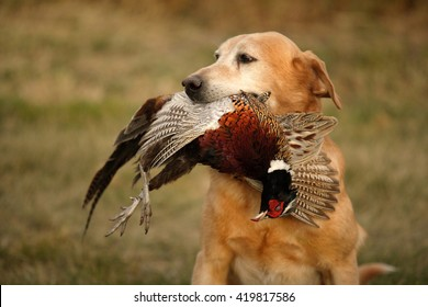 A hunting dog with a ring neck pheasant in its mouth