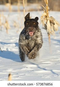 A hunting dog running in the snow