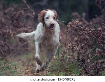 Hunting dog runs through the forest on a hunt. English setter.