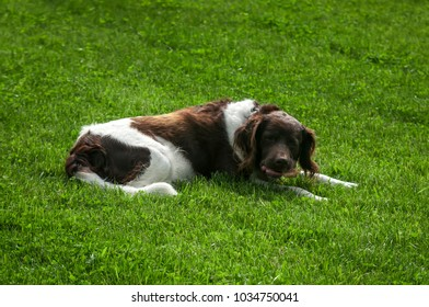 Hunting dog setter in nature