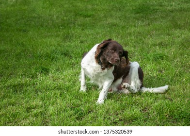 Hunting dog setter in nature,Dog Setter is playing on a grass