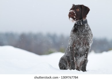 hunting dog sitting in the snow on winter blurred background