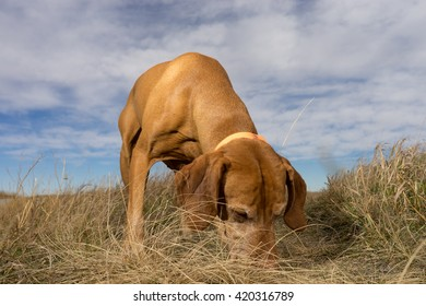hunting dog sniffing the ground outdoors in the grass