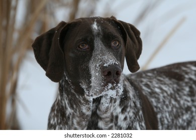 Hunting Dog with snow on muzzle