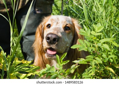 hunting dog spaniel at the feet of a hunter on a bird hunt