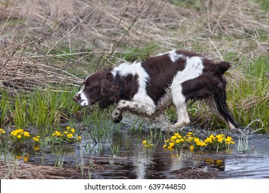 hunting dog spaniel on the bird hunt