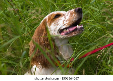 hunting dog spaniel sitting on a leash in the thickets of tall grass