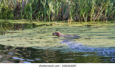 hunting dog spaniel swims on the lake in search of ducks