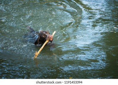 Hunting dog swims with a stick in the water