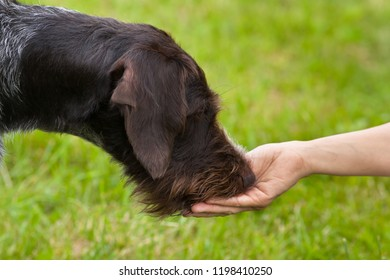 hunting dog takes a treat from the hands of the coach